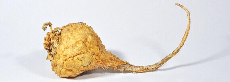 Žltá Maca