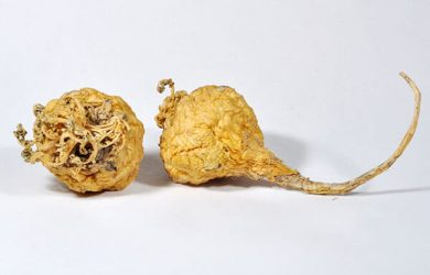 Maca peruánska (Žerucha peruánska) pomáha pri podpore plodnosti mužom aj ženám