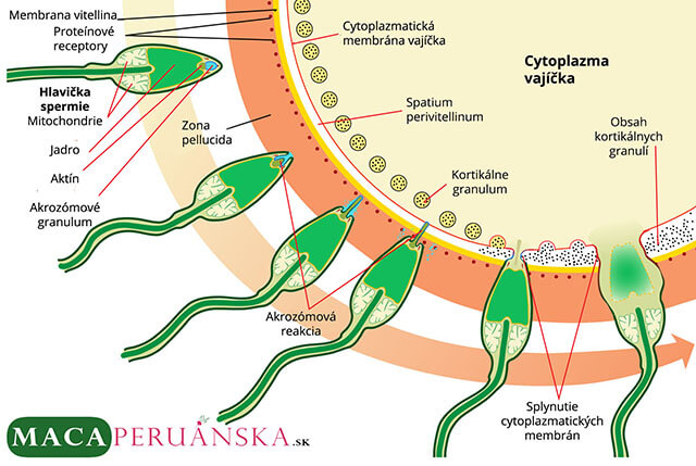 Spermie a vajíčko : Oplodnenie