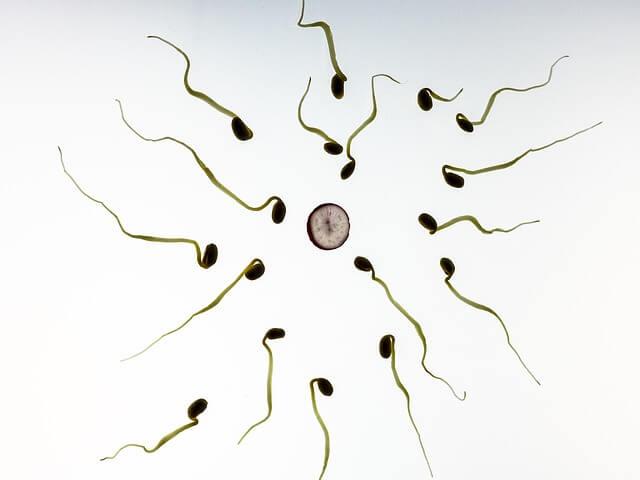 Tvorba dostatočného množstva spermií je pre plodnosť mužov zásadná